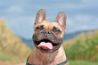 Head of a happy smiling brown French Bulldog dog with tongue out on blurry blue sky and field background