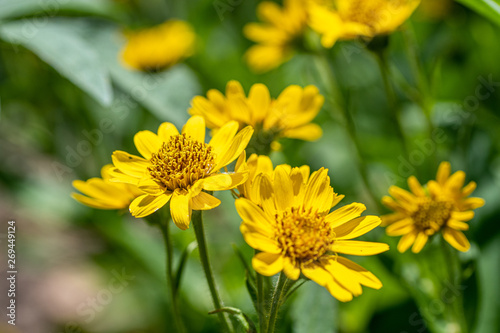Photo Close view of yellow Arnica(Arnica Montana) herb blossom