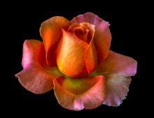 Macro Of An Orange Pink Yellow Rose Blossom On Black Background, Bright Colored Fine Art Still Life Image Of A Single Isolated Bloom With Detailed Texture
