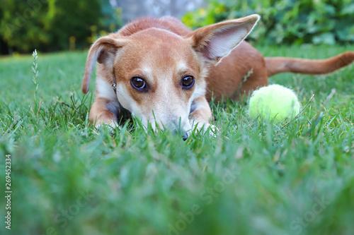 Fototapeta Leżący pies na trawie przy piłce tenisowej obraz