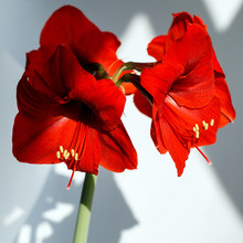 Blooming Red Amaryllis. Closeup Of A Flower On An Isolated Background.