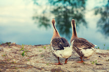 Two Geese Strolling Along The ...