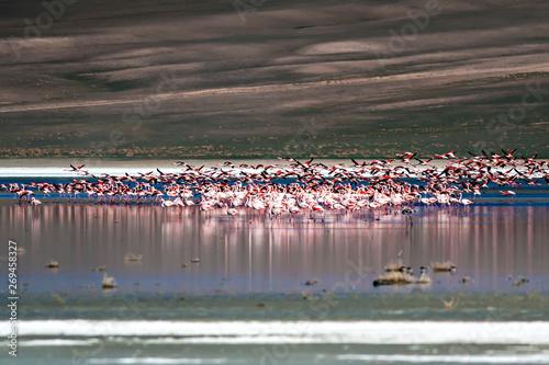 Garden Poster Flamingo Flamingos. Bird: Greater Flamingo. Phoenicopterus roseus. Drought nature background.