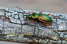 Golden Ground Beetle - Carabus...