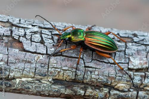 Fototapeta Golden Ground Beetle - Carabus auratus