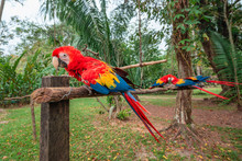 Red Macaw Sanctuary At The Lac...