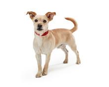 Scruffy Tan Puppy Dog Standing On White