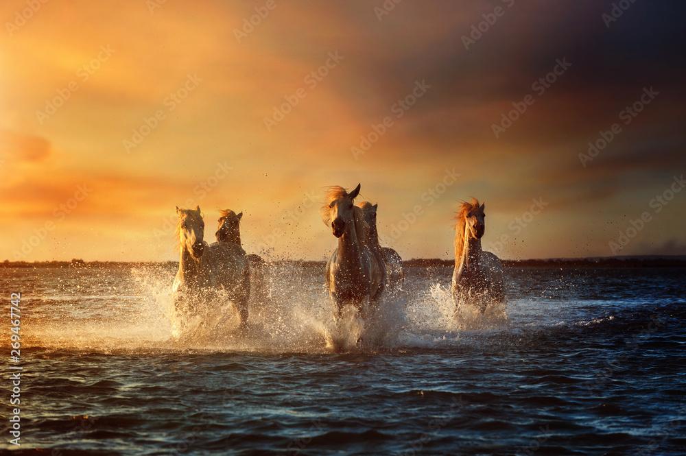 Fototapety, obrazy: Horse running under sunset in camargue