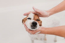 Cute Lovely Small Dog Wet In Bathtub. Young Woman Owner Getting Her Dog Clean At Home. White Background