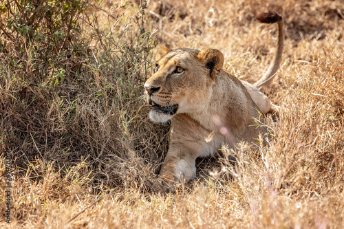 Lioness laying in the grass on alert