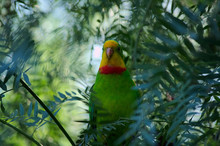 A Superb Parrot Sitting Amongst Tree Leave In A Bird Aviary On A Sunny Day