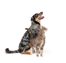 Excited Aussie Dog And Cat Tog...