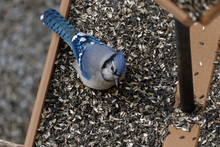 Blue Jay Eating At A Bird Feeder