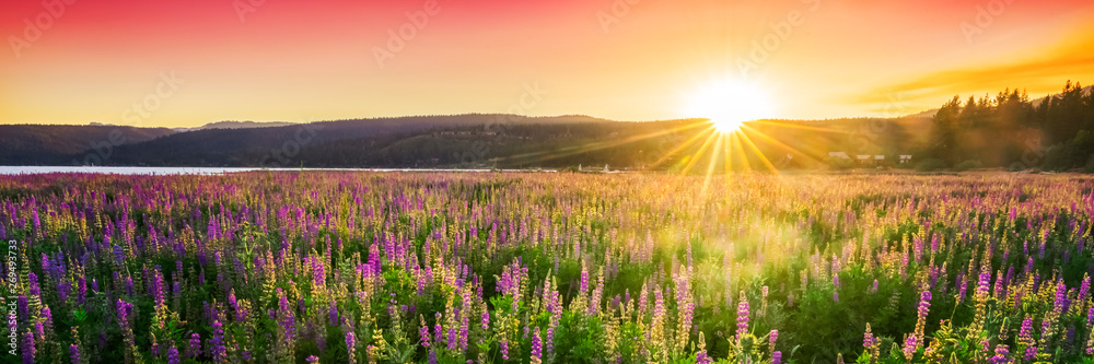 Fototapeta Sunset over field with wild flowers