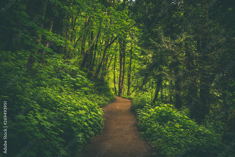 Fototapety, obrazy: Path through vibrant lush green Pacific Northwest summer forest