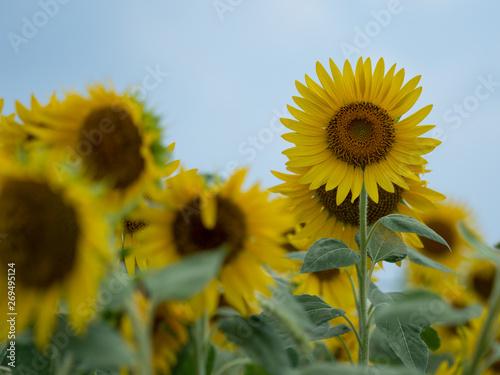 Poster Zonnebloem I took a picture of my neighborhood sunflower field