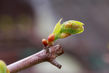 Sprout Of Grapes