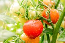 Fresh, Ripe Organic Tomatoes O...