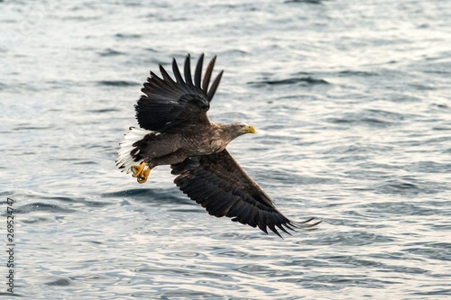 Garden Poster Eagle White-tailed eagle in flight, eagle with a fish which has been just plucked from the water in Hokkaido, Japan, eagle with a fish flies over a sea, majestic sea eagle, exotic birding in Asia,wallpaper
