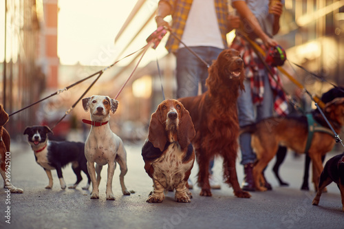 Photo group of dogs with man and leash ready to go for a walk.