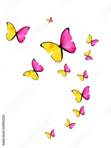 Fotografie, Obraz  tropical flock of flying colored butterflies isolated on white