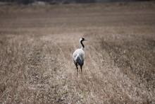 Sandhill Crane In A Field