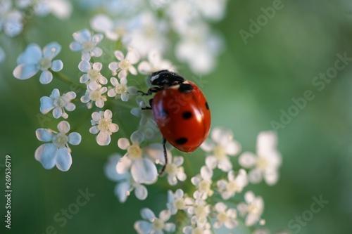 Fotomural ladybug on white flowers