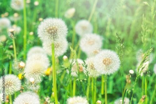Fototapety, obrazy: dandelion on background of green field