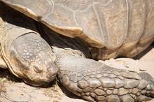 Giant Tortoise Sleeping