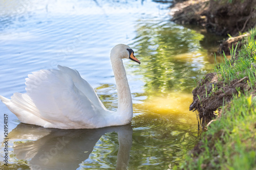 Fotografie, Obraz  The adult white swan in the habitat of dwelling - swims in a reservoir at the co
