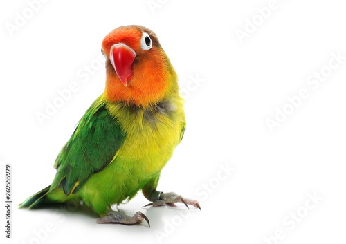 Tuinposter Papegaai Lovebird isolated on white, Agapornis fischeri