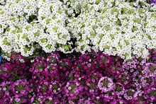Alyssum. Alyssum Flowers From Family  Brassicaceae. The Genera Lobularia And Aurinia Are Closely Related To Alyssum. Floral Pattern. Spring And Summer Flowers Background Texture.