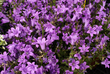 Purple Campanula Flowers, Bell...