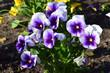 Wiosenne kwiaty - bratki, viola