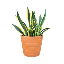Sansevieria Or Snake Plant In ...