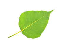 Green Bodhi Leaf Isolated On W...