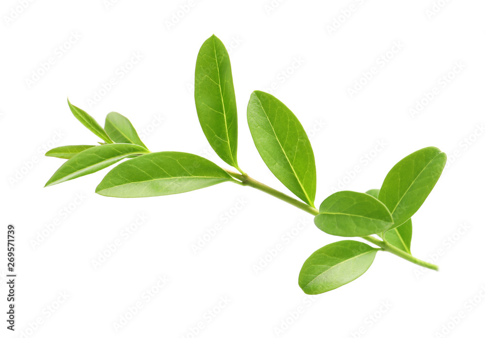 Branch with green leaves on white background