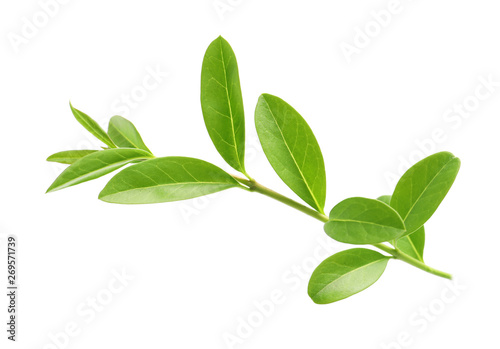 Printed kitchen splashbacks Garden Branch with green leaves on white background