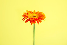Beautiful Bright Gerbera Flower On Color Background