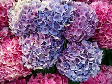Pink Hydrangeas With Hues Of Blue And Purple