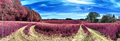 Poster Crimson Beautiful and colorful fantasy landscape in an asian purple infrared photo style