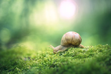 Big Snail On The Moss