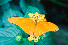 Close Up Of A Dryas Iulia Butterfly Sitting On An Orange Flower, Costa Rica