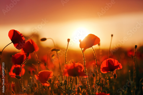 Poster Poppy Beautiful field of red poppy. Majestic sunset lights up with the warm light the sky and the field of lush, big nice poppies. Wallpaper flowers. Amazing summer day.