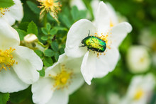 Rose And Green Beetle
