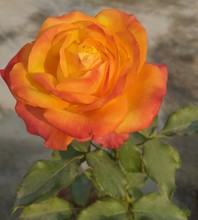 Nature Photography Of An Orange Rose In My Garden
