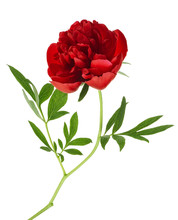 Beautiful Red Peony Flower Isolated On A White Background
