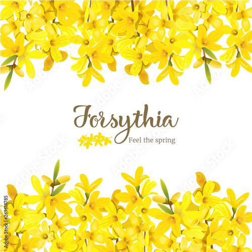 Forsythia suspensa, fluffy blossoming yellow spring tree card template Canvas Print