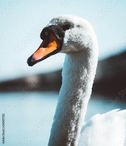 Poster Cygne A curious swan