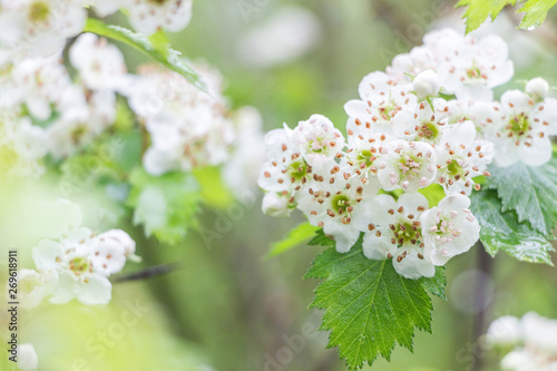 blooming hawthorn flower with green leaf on branch Wallpaper Mural